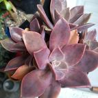 Graptoveria cv. Fred Ives (Graptopetalum paraguayense x Echeveria gibbiflora) (HIBRIDO)