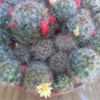 45627 Kaktus-grys