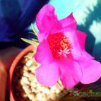 Collecion de Kaktus-grys
