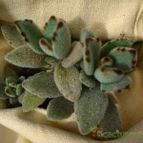 Collecion de alcicactus
