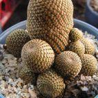 Collecion de cactusdiseno
