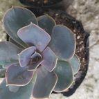 Echeveria X Perle von Nurnberg ( E. gibbiflora metalica X E. elegans) (HIBRIDO)