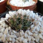 leandrocactus-43176