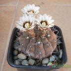 Collecion de manglinos69