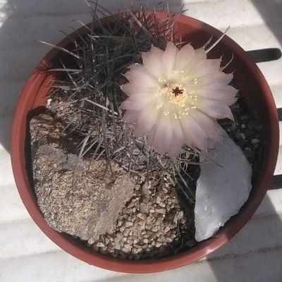 Kaktus-grys