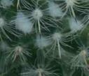 Forma de las costillas del cactus