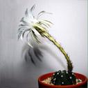 Forma de las flores del cactus